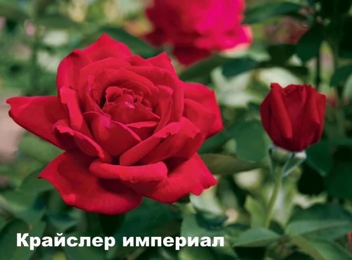 Вид розы - Крайслер империал