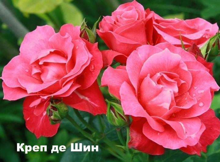Вид розы - Креп де Шин