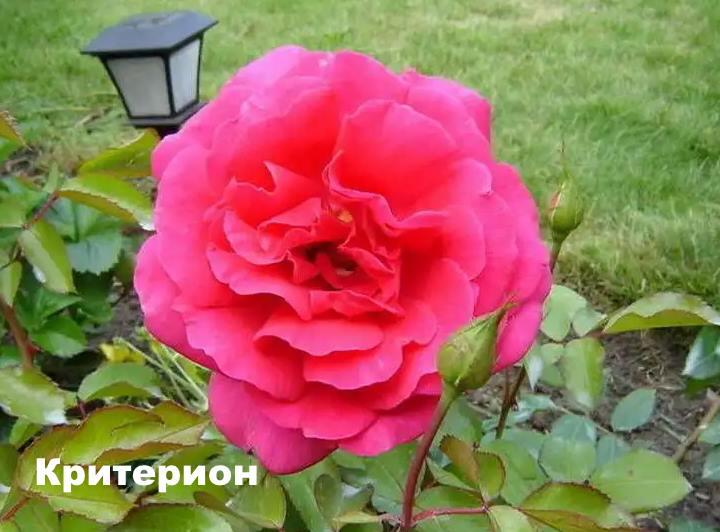 Вид розы - Критерион