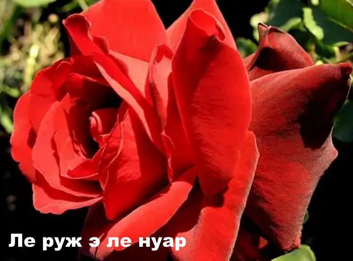 Вид розы - Ле руж э ле нуар