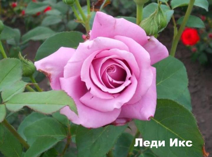 Вид розы - Леди Икс