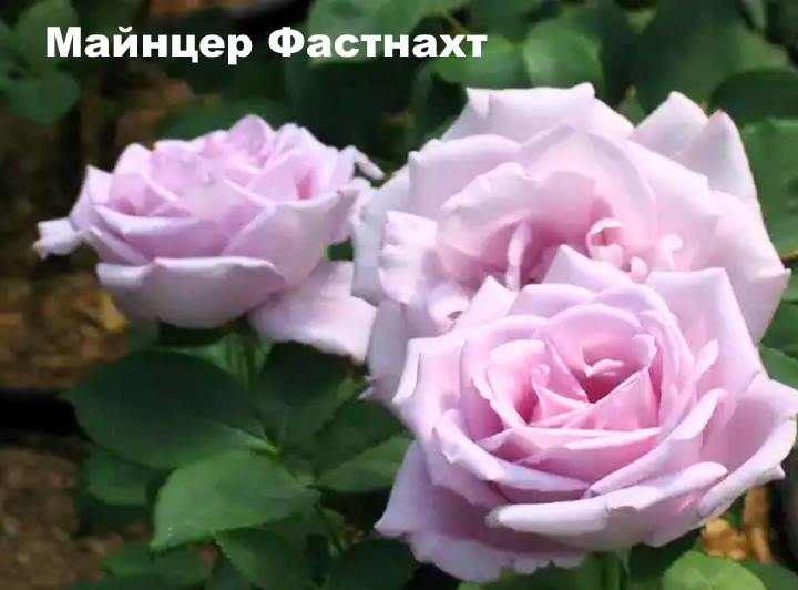 Вид розы - Майнцер Фастнахт