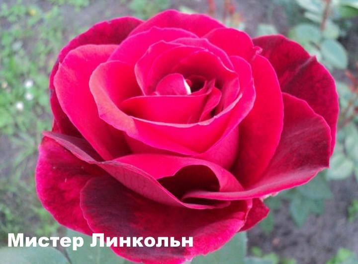 Вид розы - Мистер Линкольн