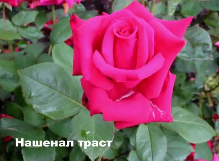 Вид розы - Нашенал траст
