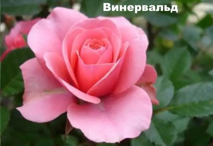 Вид розы - Винервальд