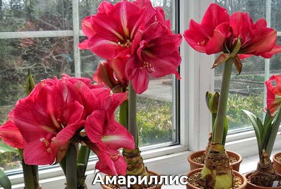 Амариллисы цветы уход