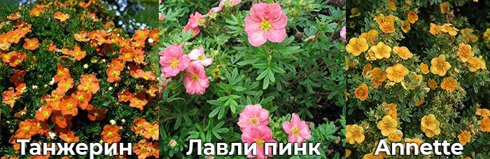 Лапчатка Annette, Лавли Пинк и Танжерин