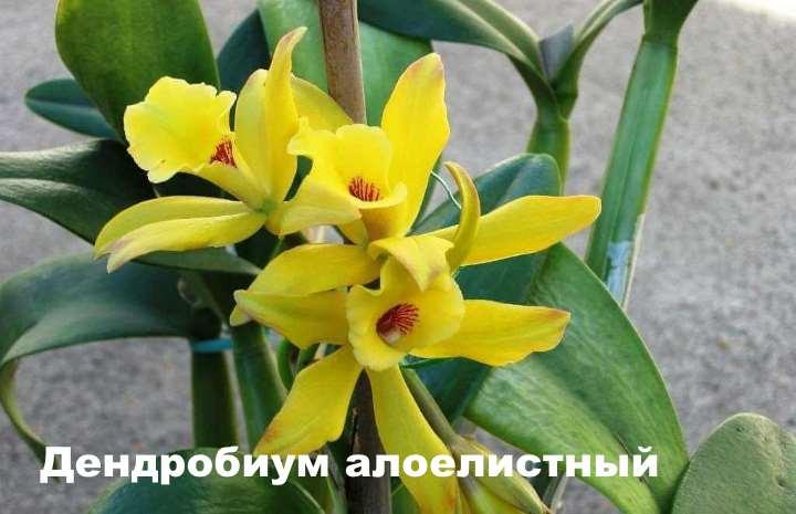 Вид орхидеи - Дендробиум алоелистный