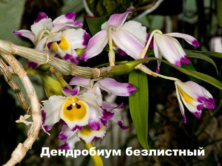 Вид орхидеи - Дендробиум безлистный