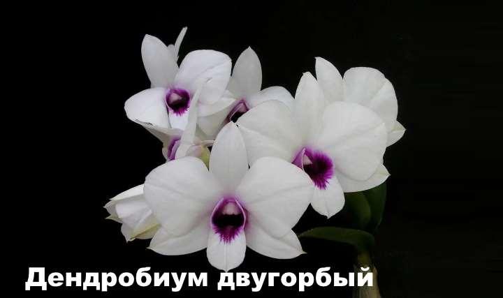 Вид орхидеи - Дендробиум двугорбый