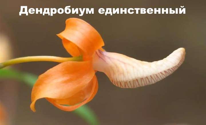 Вид орхидеи - Дендробиум единственный