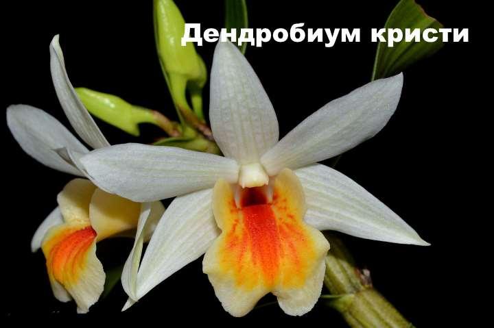Вид орхидеи - Дендробиум кристи