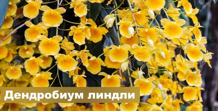 Вид орхидеи - Дендробиум линдли