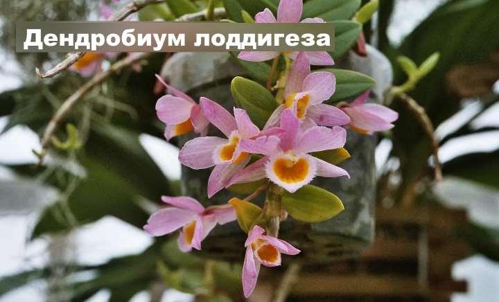 Вид орхидеи - Дендробиум лоддигеза
