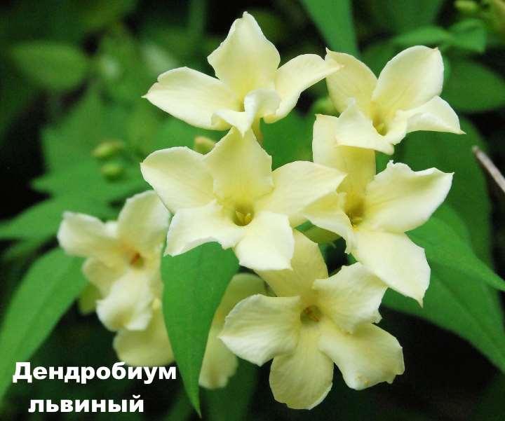 Вид орхидеи - Дендробиум львиный
