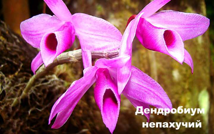 Вид орхидеи - Дендробиум непахучий