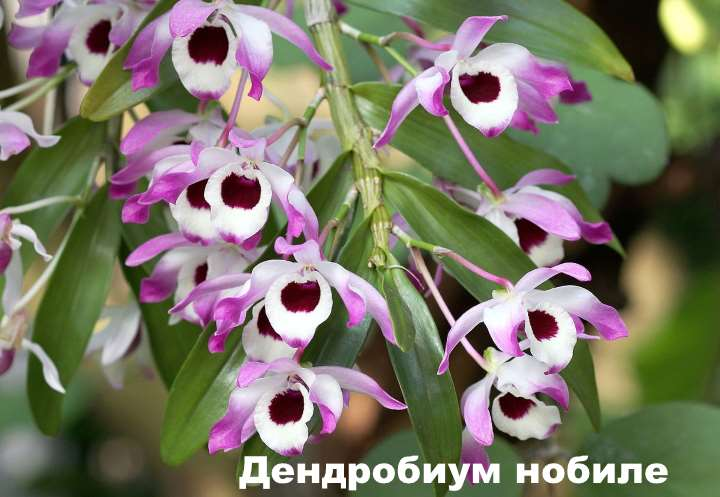 Вид орхидеи - Дендробиум нобиле