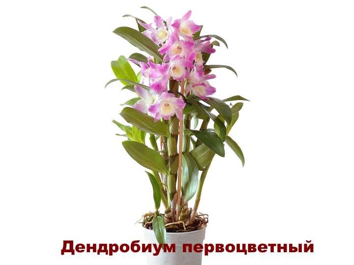 Вид орхидеи - Дендробиум первоцветный