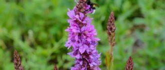 Фиолетовый Дербенник