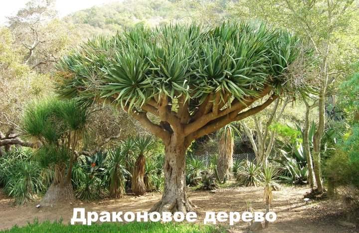 Вид растения - Драцена Драконовое дерево
