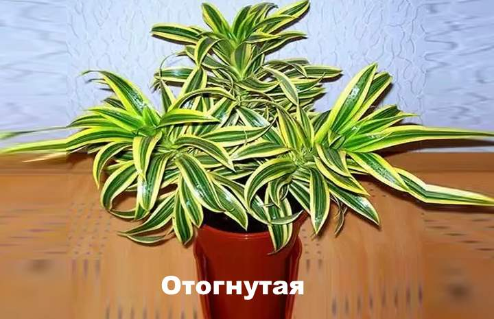 Вид растения - Драцена Отогнутая