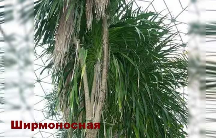 Вид растения - Драцена Ширмоносная