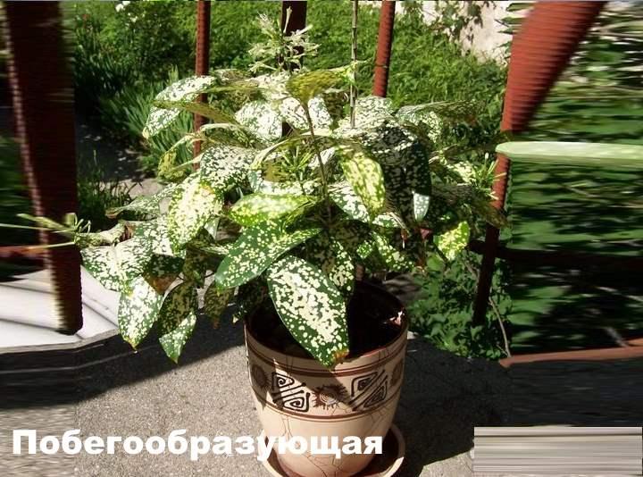 Вид растения - Драцена побегообразующая