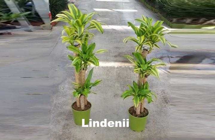 Вид растения - Драцены Lindenii