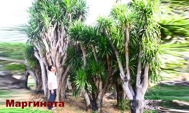 Вид растения - Драцены Маргината