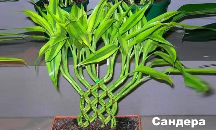 Вид растения - Драцены Сандера