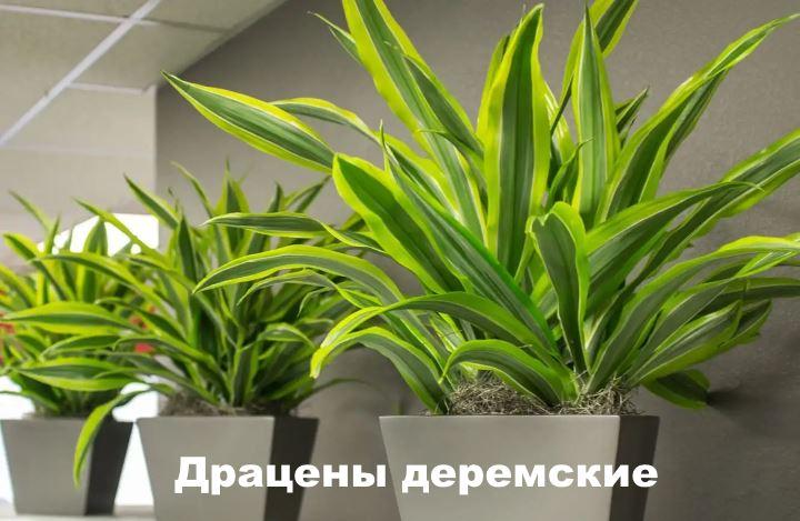 Вид растения - Драцены деремские