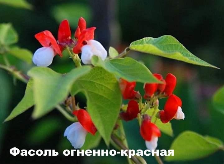Вид лианы - Фасоль огненно-красная