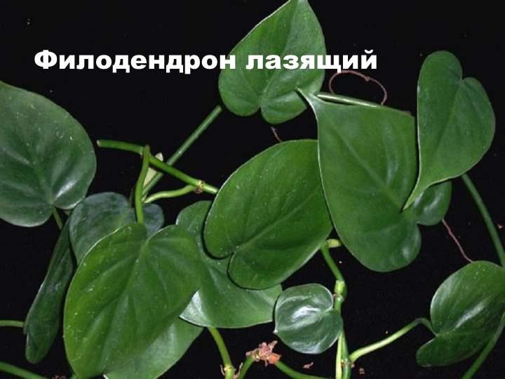 Вид лианы - Филодендрон лазящий