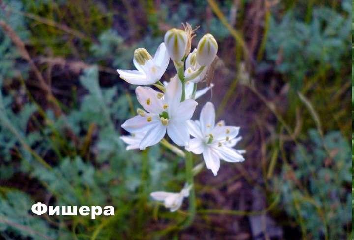 Вид растения - Фишера птицемлечник