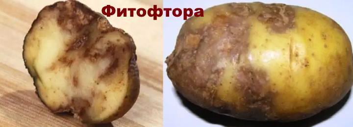 Болезнь картофеля