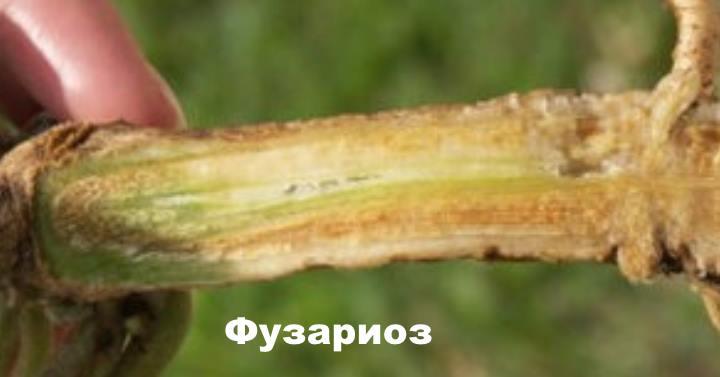 Болезни гвоздики - Фузариоз
