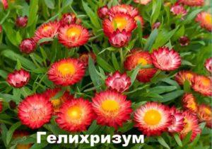 Растение Гелихризум