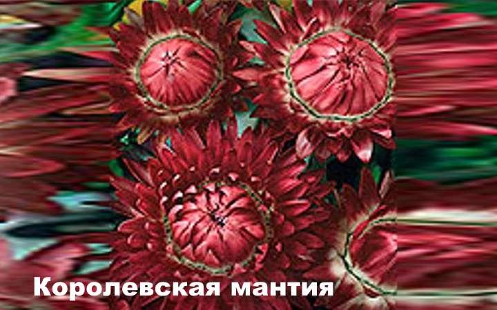 Вид растения - Гелихризум Королевская мантия