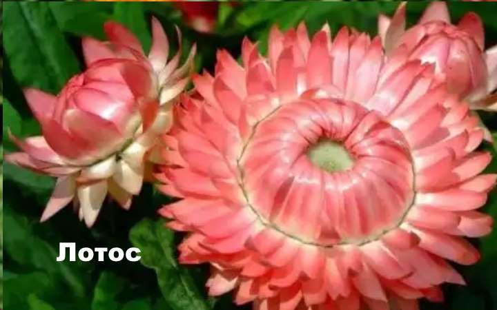Вид растения - Гелихризум Лотос
