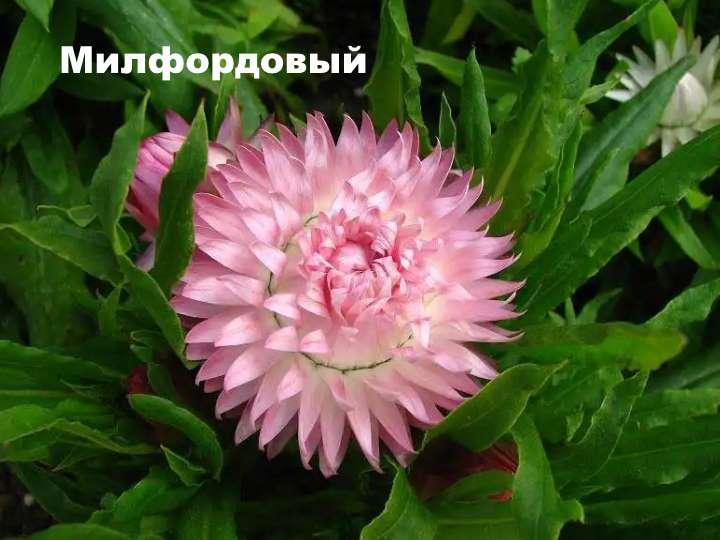 Вид растения - Гелихризум Милфордовый