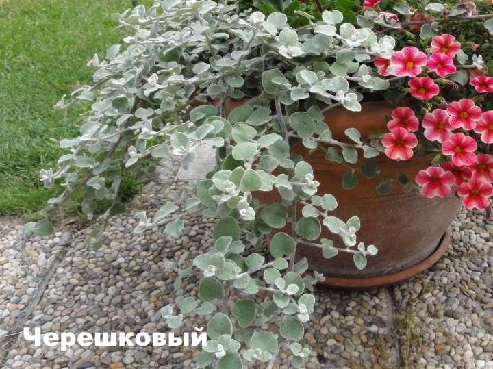 Вид растения - Гелихризум черешковый