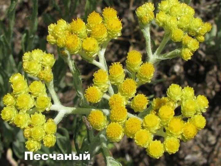 Вид растения - Гелихризум песчаный