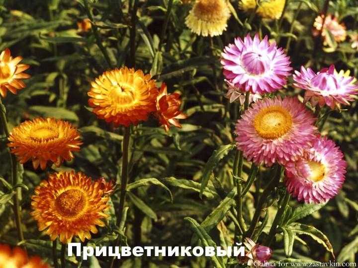 Вид растения - Гелихризум прицветниковый
