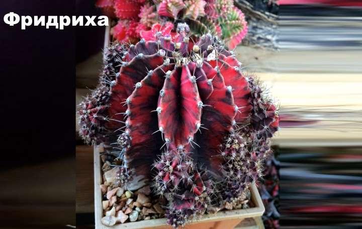 Вид растения - Гимнокалициум Фридриха