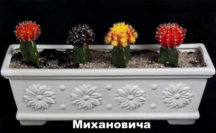 Вид растения - Гимнокалициум Михановича