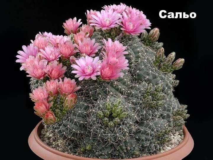 Вид растения - Гимнокалициум Сальо