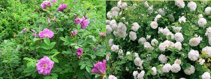 Цветущие кустарники розы морщинистой