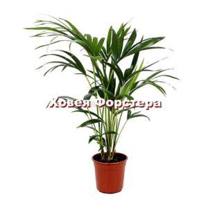 Растение пальма ховея Форстера