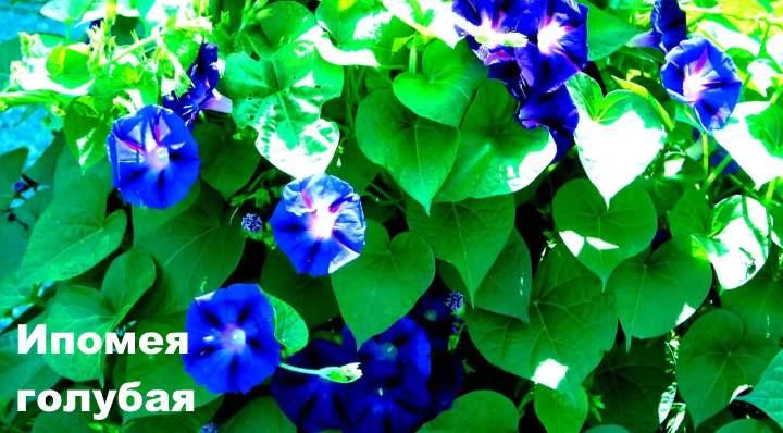 Вид лианы - Ипомея голубая