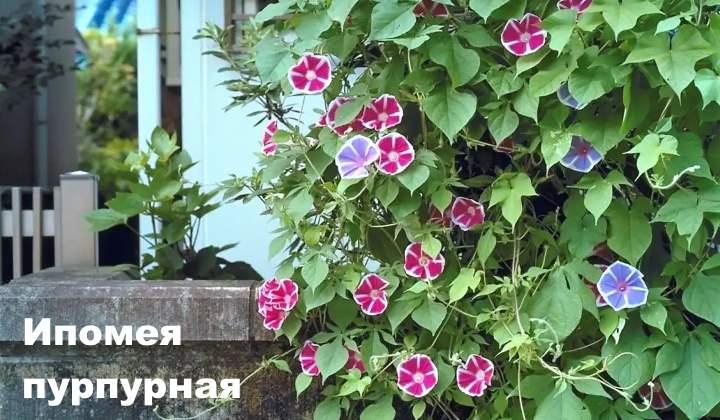 Вид лианы - Ипомея пурпурная